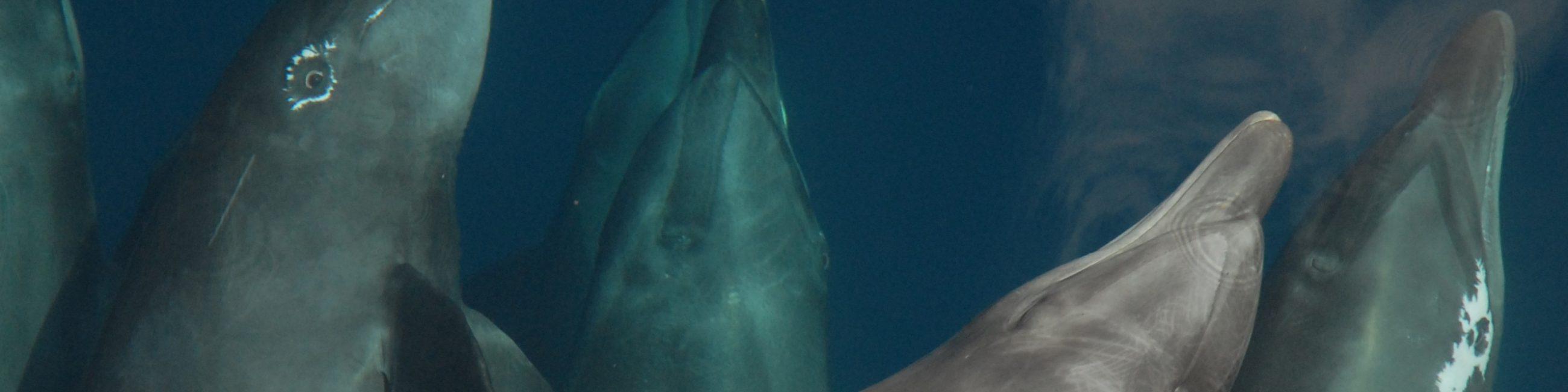 NOAA_Dolphins